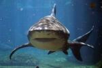 Morski pes v Jadranu