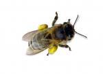 Če vas piči čebela...