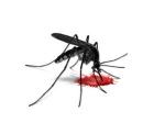 Bzzzzz  … pik komarja