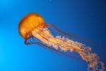 Ko vas ožge meduza?